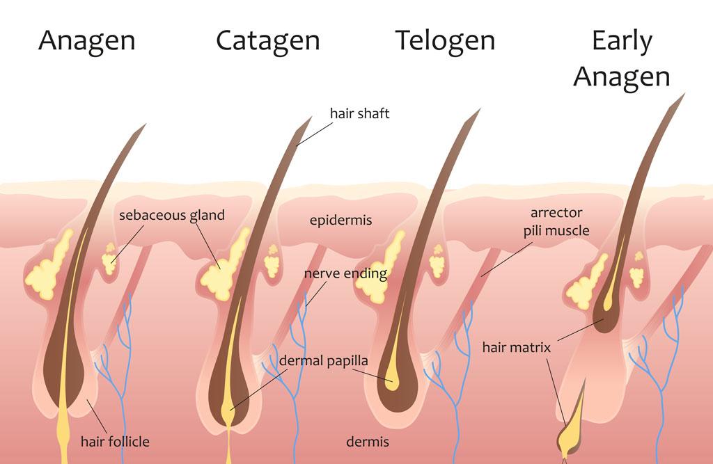 Hair Growth Cycles